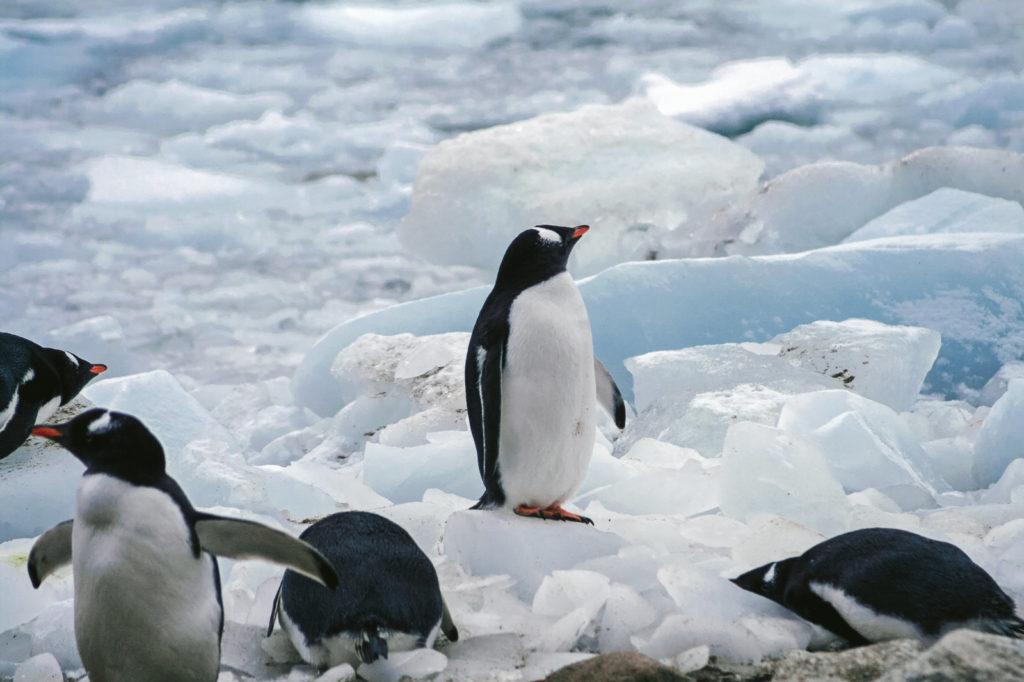 協調しないペンギン
